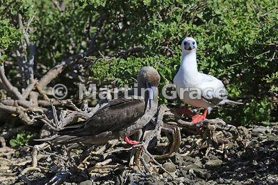 Red-Footed Boobies (Sula sula) - brown morph (left) with white morph (right), Darwin Beach, Genovesa, Galapagos Islands