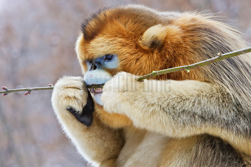 Golden Monkey Eating a Branch