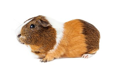 Guinea Pig Side View on White