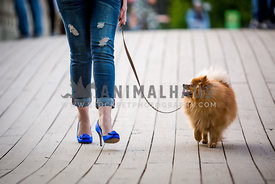 pomeranian walking with blue heels