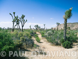 Joshua Tree Landscape 6 | Paul Ottaviano Photography