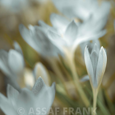 Crocuses flower