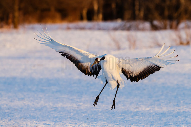 In-coming Red-crowned Crane