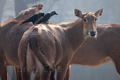 Nilgai (Boselaphus tragocamelus), National Zoo, Delhi, India