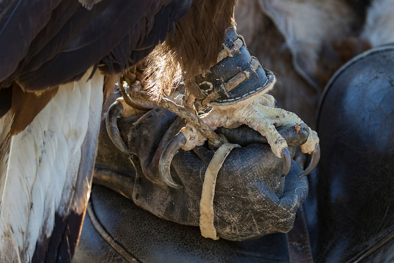 Closeup of Eagle Standing on its Handler's Glove