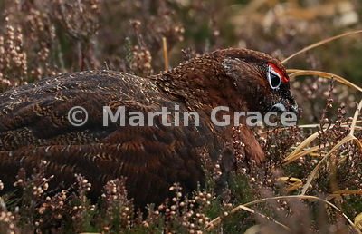 Male Red Grouse (Lagopus lagopus scotica) feeding on Heather (Ling) (Calluna vulgaris), early January, Lochindorb, Scottish H...