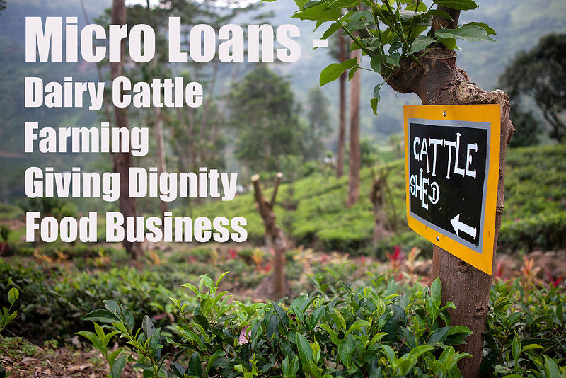 Micro-loans-dairy-cattle-sri-lanka-copyright-Rob-Johns-MG_2018
