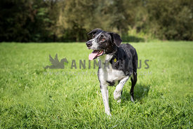 Border collie cross playing in field