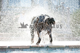 Bernese Mountain Dog shaking off water after a swim, water drops showering in air