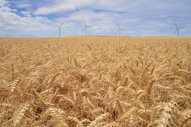Wheat and Wind Towers Symbiotic