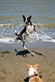 dogs playing on beach one dog watching another jump in air to catch ball