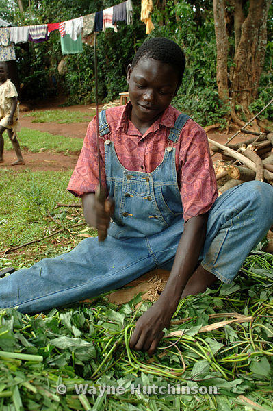 African man while cutting Napier grass for cattle, with sharp knife, western Kenya , Africa