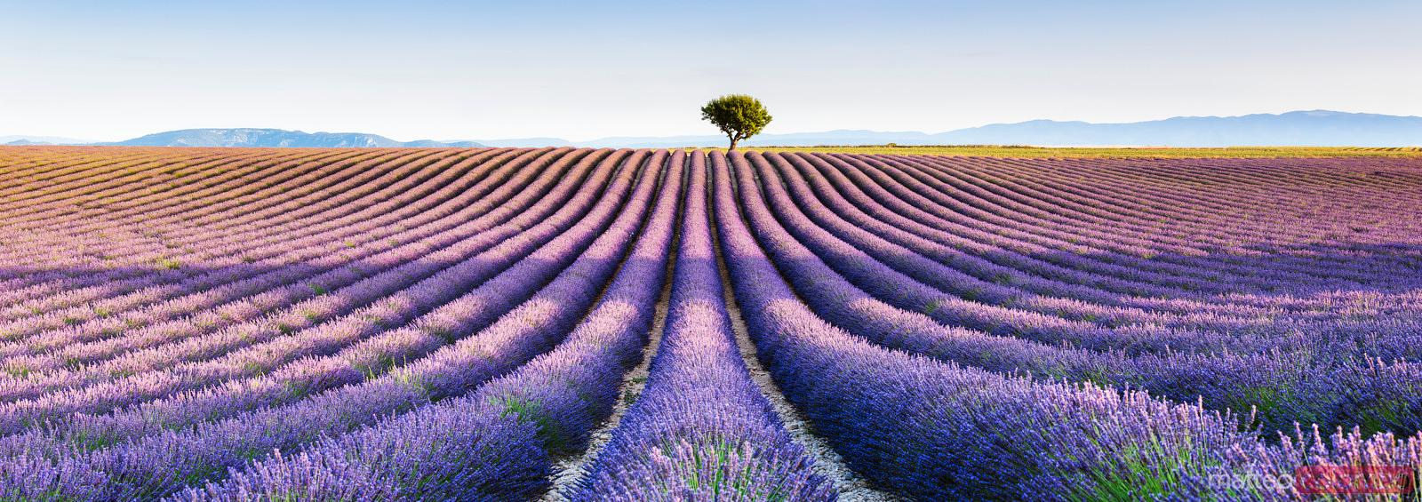 Panoramic of lavender field and tree, Provence, France