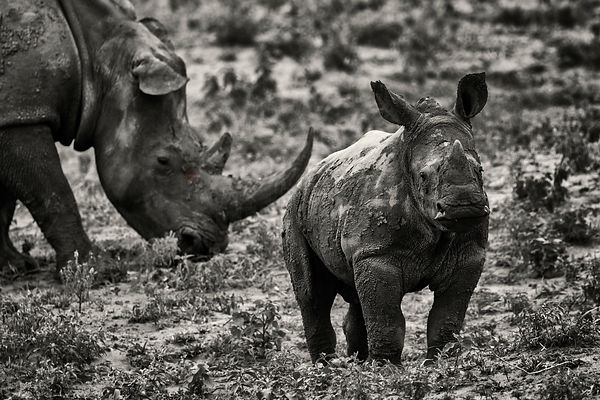 African White Rhino and Young