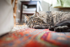 long haired tabby cat laying on rug
