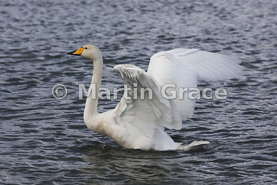 Whooper Swan (Cygnus cygnus) flapping its wings, Dumfries & Galloway, Scotland
