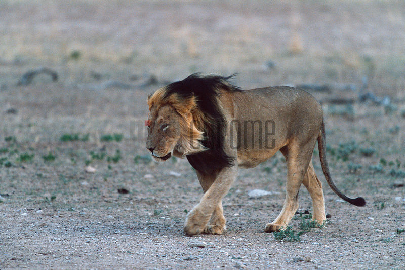 Lion walking in Strong Wind