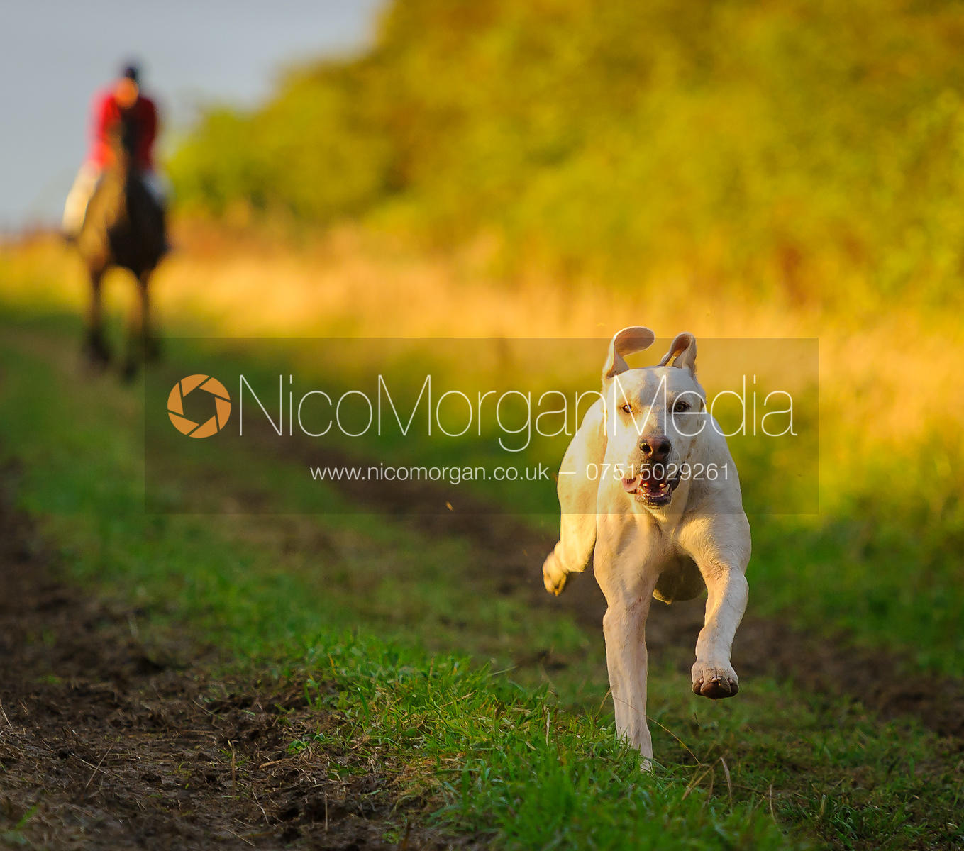 A Cottesmore hound in the dawn sun - The Cottesmore Hunt at Betts Barn 27/9