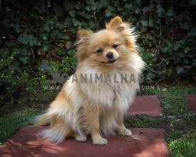 tan colored happy Pomeranian sitting on red concret surface of garden path