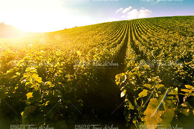 Vineyard Sunrise - Champagne Vineyard