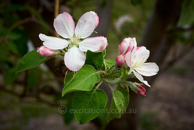 Apple blossom and buds,
