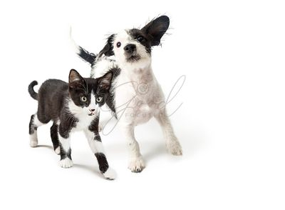 Playful Puppy and Kitten Walking Forward
