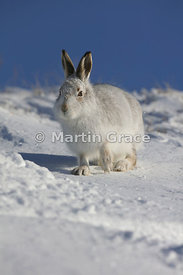 Mountain Hare (Arctic Hare) (Lepus timidus) in snow, February 13, Strathdearn, Scottish Highlands