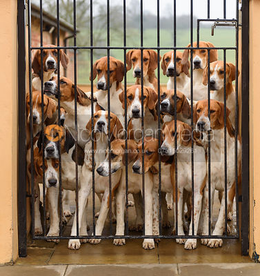 Old English Belvoir Hunt fox hounds in their kennels