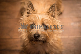 small brown Cairn terrier dog looking up intently on wood floors