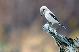 November - Northern Shrike