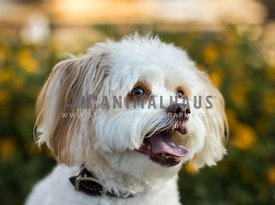 smiling white poodle mix dog looking to the side