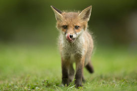 Hungry Fox Cub, London