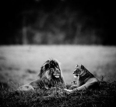 4697-Scarface_with_a_lioness_Kenya_2015_Laurent_Baheux