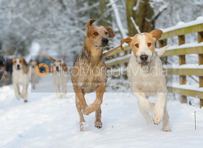 The Cottesmore hounds exercise in the snow, Owston Woods 12/12