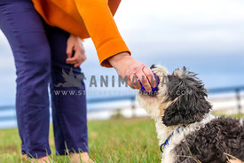 woman in orange coat playingwith small curly dog in grassy fenced field