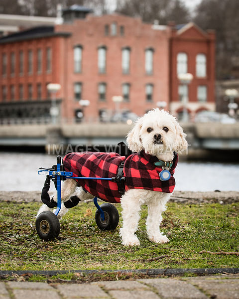 Small handicapped white fluffy dog in plaid coat and wheels in town.jpg