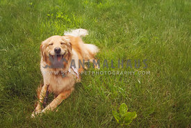 happy golden retriever laying in grass with a stick