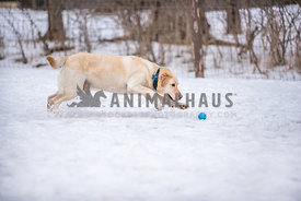 Yellow lab leaping to get a blue ball in the snow in a fenced area