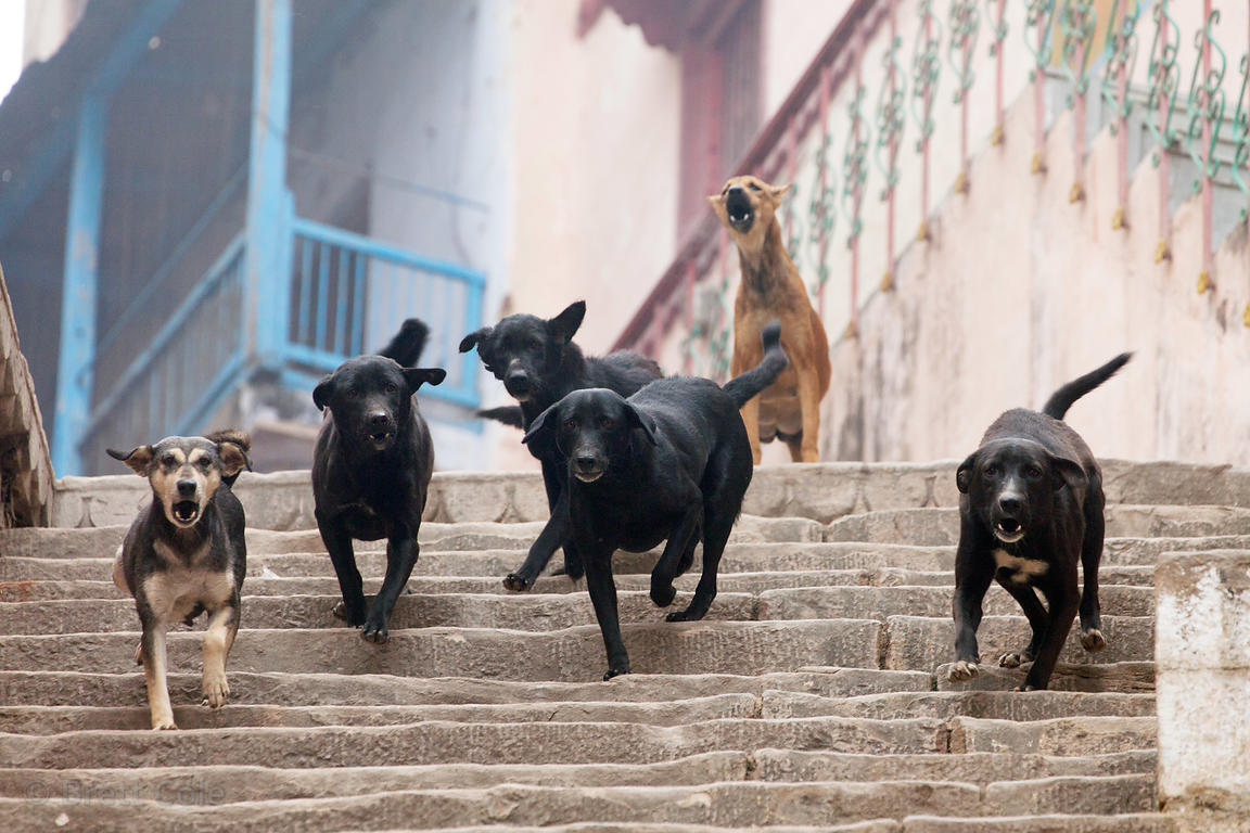 A group of stray dogs fight on a steep staircase near Assi Ghat, Varanasi, India.