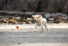 Yellow labrador running after a ball on the beach