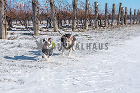 Two terriers in winter coats play chase in the snow