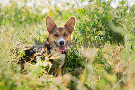 Pembroke Welsh Corgi puppy smiling in tall grasses