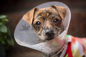 small mix breed dog with cone