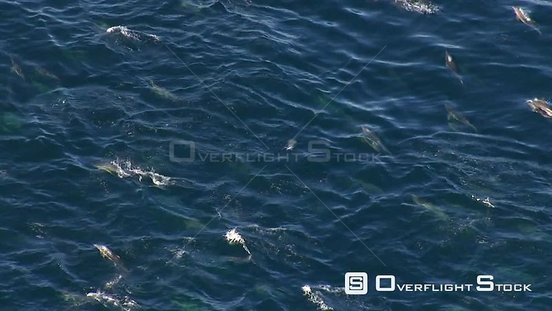 Aerial of a school of dolphins leaping in and out of the sea. Western Cape South Africa