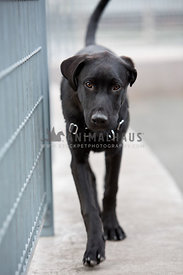 black lab walking