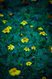 Tagetes Quince
