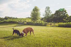 two dogs sniffing together in a sunny field