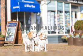 Two Beagles waiting in front of a shop