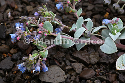 Oyster Plant (Mertensia maritima), West Fjords, Iceland