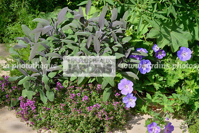 Association : Geranium 'Rozanne', Thymus serphyllum 'Purple Beauty' (thym serpolet), Salvia officinalis 'Purpurascens', Paysa...
